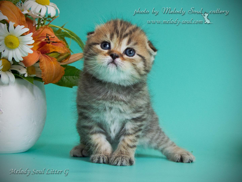 Шотландский вислоухий кот купить