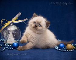 Шотландская прямоухая кошка