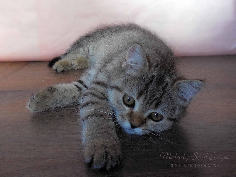 Шотландский  котенок купить Казань