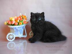 Шотландская короткошерстная кошка