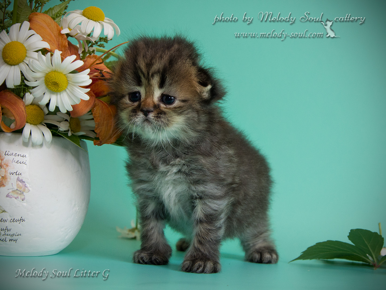 Вислоухий пушистый котик продажа