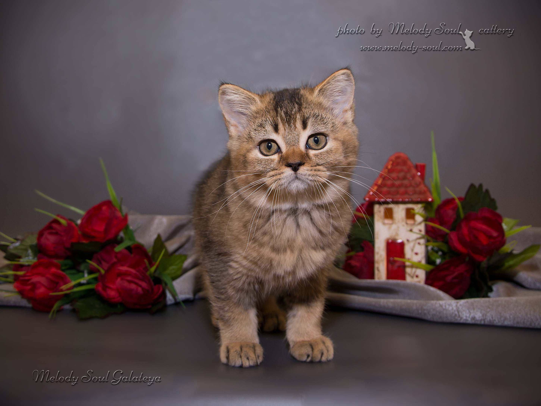 Шотландский котенок питомник
