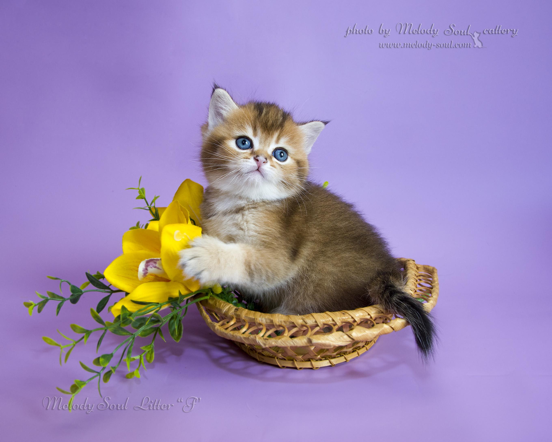 Скоттиш страйт кот