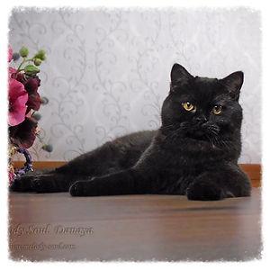 скоттиш страйт (шотландская короткошерстная кошка) окрас черный солид