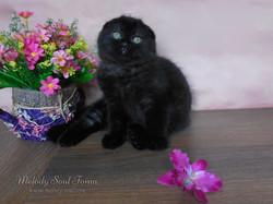 Черный вислоухий котенок купить