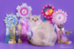 скоттиш страйт (шотландский короткошерстный кот) окрас линкс поинт