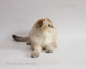 скоттиш фолд (шотландский короткошерстный кот) окрас золотой поинт