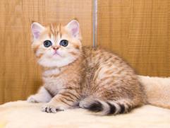 Шотландский котенок золотого окраса