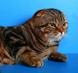 scottish fold Bernas