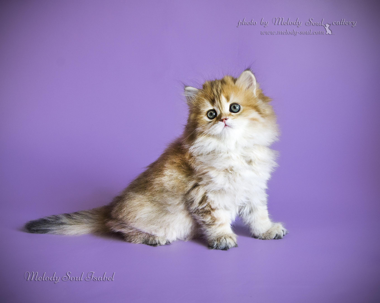 Хайленд страйт кошка