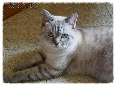 скоттиш страйт (шотландская короткошерстная кошка) окрас шоколадный линкс поинт на серебре