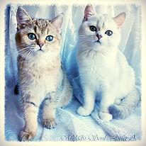 шотландские короткошерстные котята Мелоди Сол золотая серебристая шиншилла тикированный