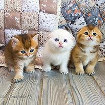 шотландские вислоухие котята питомник Мелоди Сол колор-поинт шиншилла