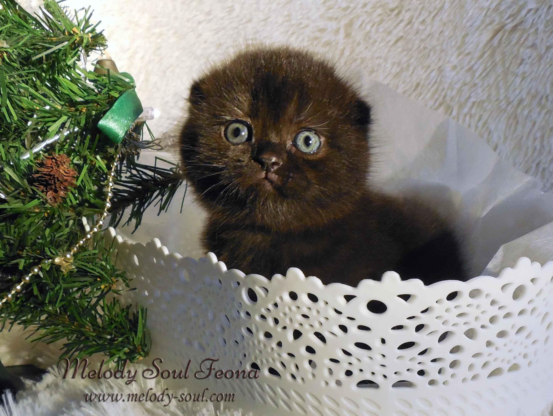 Шотландский вислоухий котенок купить