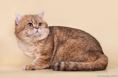Британский короткошерстный золотой тигровый кот