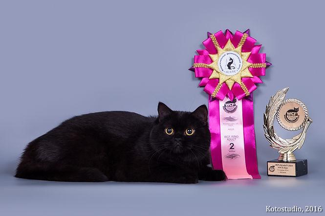 Шотландская короткошерстная черная кошка. Продажа котят. Шотландские котята