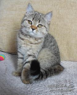 Продажа шотландских котят
