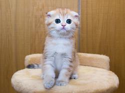 Шотландский вислоухий котенок (скоттиш фолд)