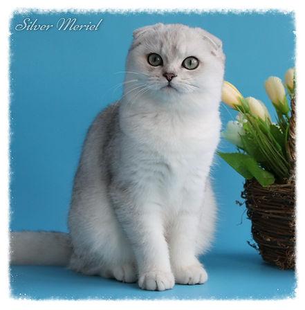 скоттиш фолд (шотландская вислоухая кошка) окрас серебристая шиншилла