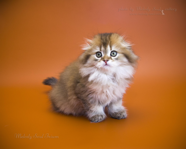 Хайленд фолд кот