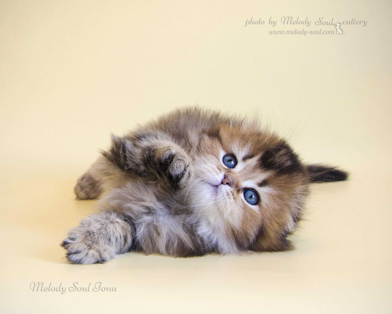Хайленд фолд кошка