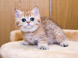 Шотландский короткошерстный котенок (скоттиш страйт)