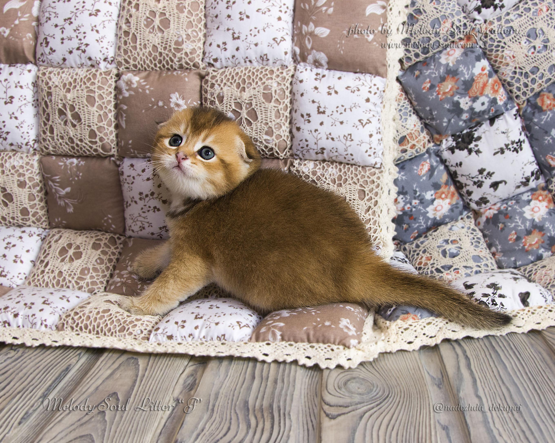 Скоттиш фолд кот