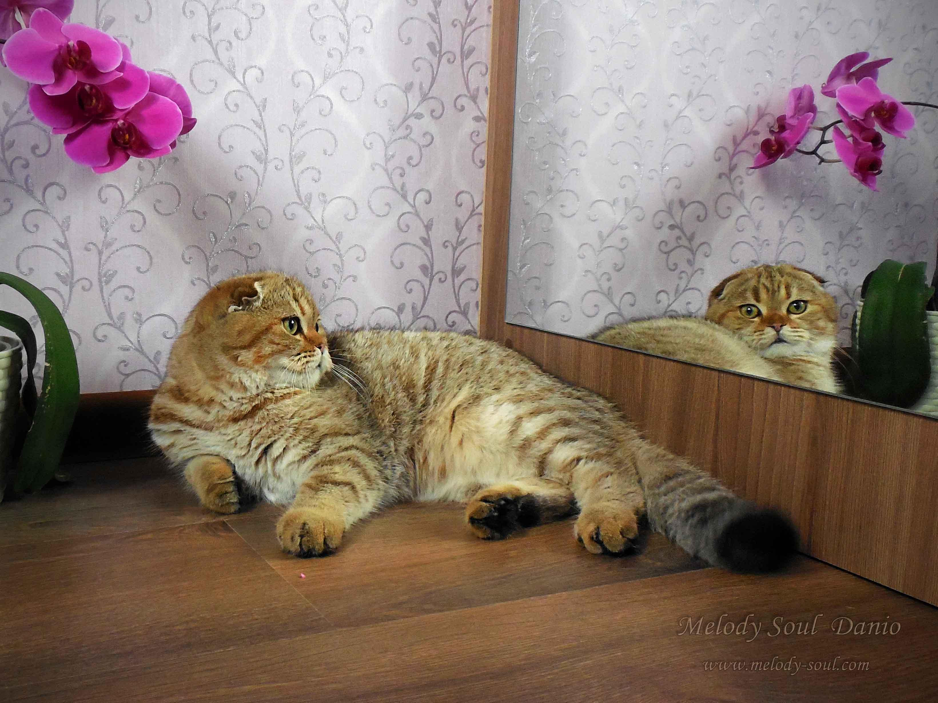 Шотландский вислоухий котик