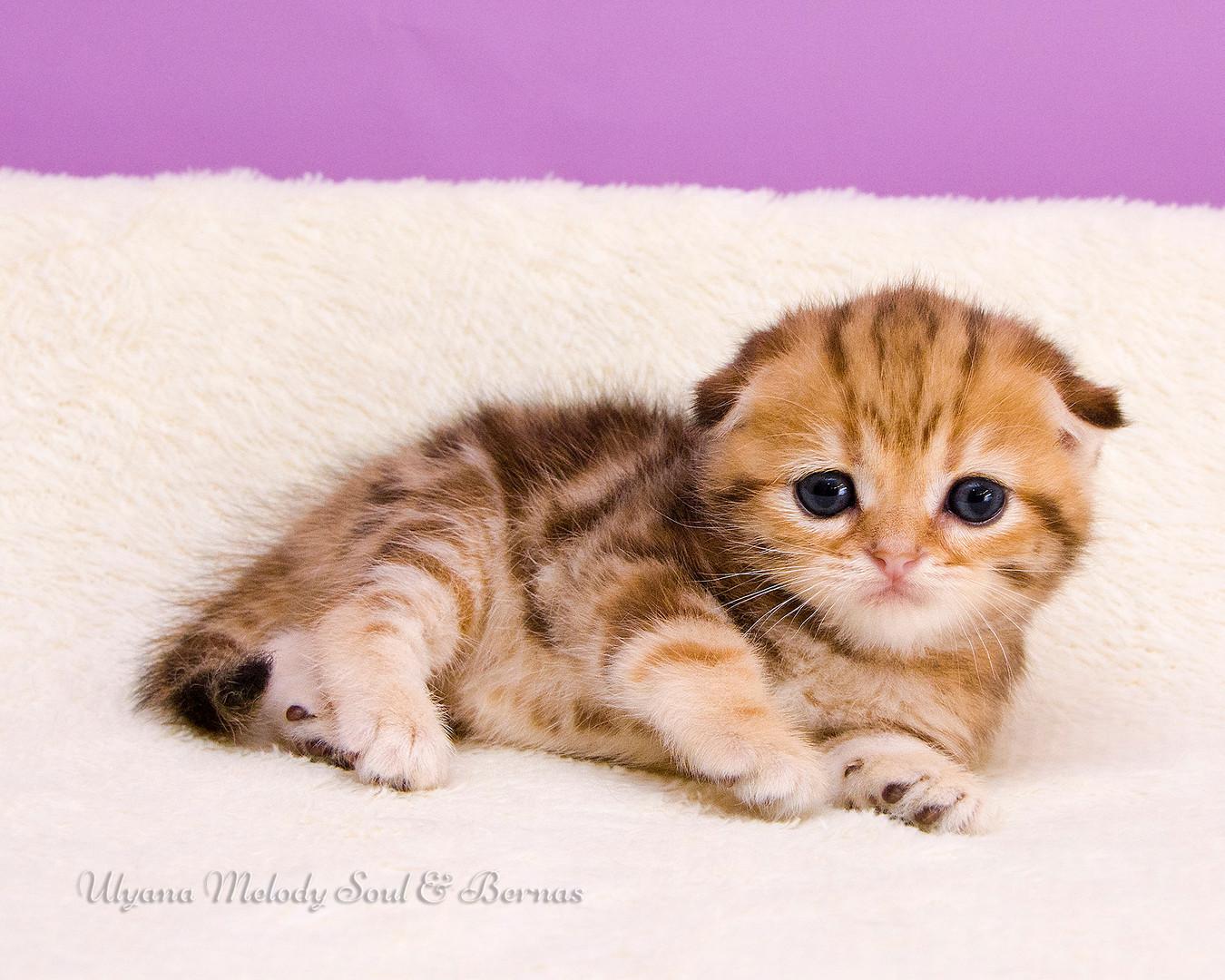 Вислоухая короткошерстная кошка