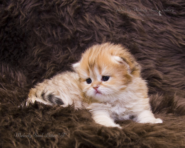 Хайлендландская длинношерстная кошка