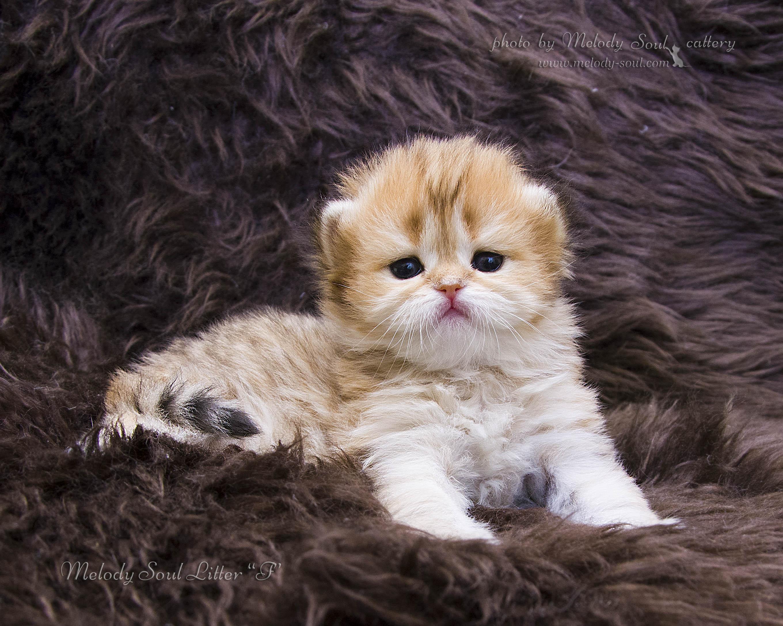 Хайленд страйт кошинношерстная кошка