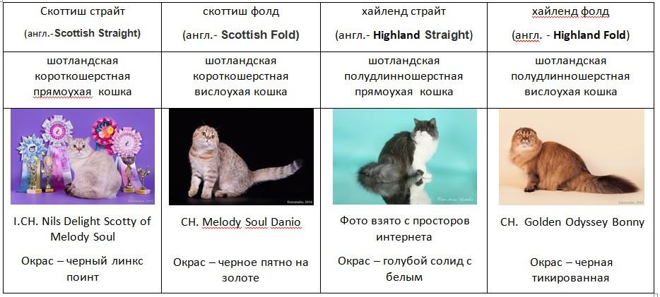 Рахнообразие породы шотландской кошки (скоттиш фолт, скоттиш страйт, хайленд фолд, хайленд страйт)