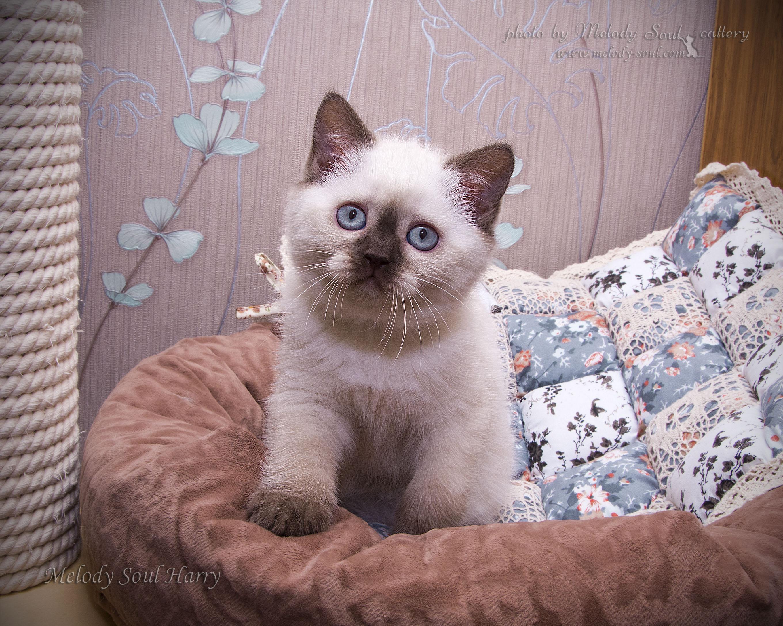 Шотландский прямоухий кот колорпоинт