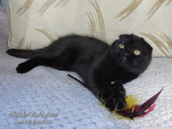Шотландская вислоухая черная кошка