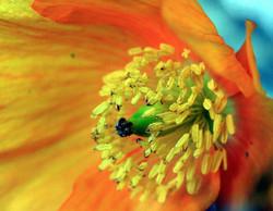 Scottish Poppies By Amy Hooton