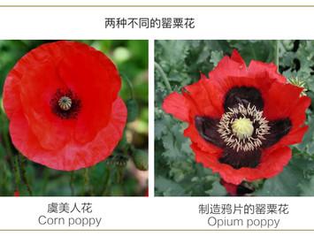 欧洲的双11:每一个中国人,都应该了解这朵开在比利时佛兰德斯原野上的小花……