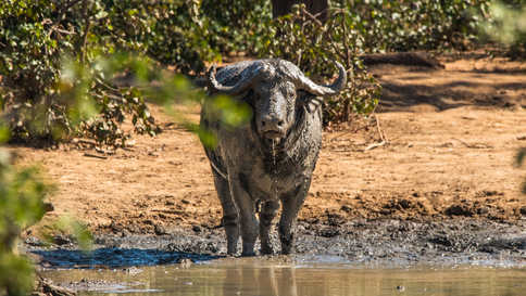 A Buffalo staring me down after rolling in the mud
