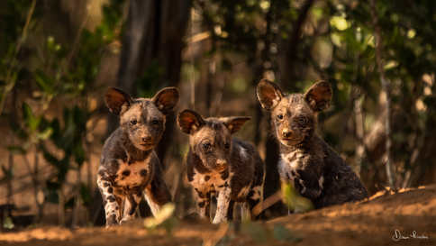 Three Wild Dog Pups in the Save Conservancy