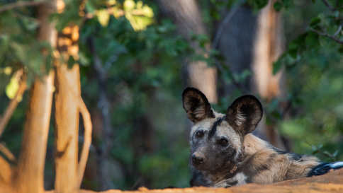 Wild Dog Mum peeps her head out of her den