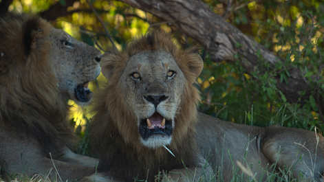 A lion in Mana Pools with a porqupine quil stcuk in his face
