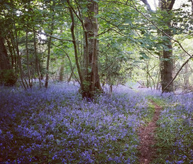 Bluebells in Sussex