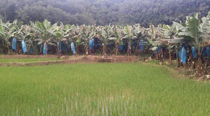 Banana paddies, Yunnan