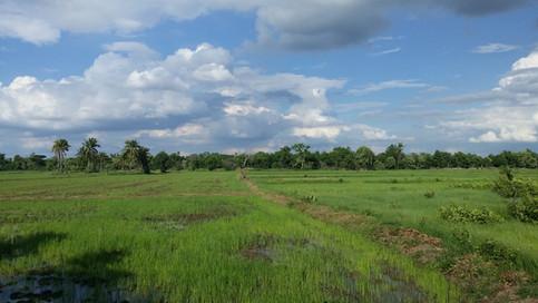 Flooded rice paddies in Thailand