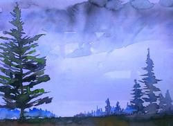 Spruce trees Western Isles