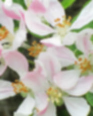 apple-blossom-adrienne-m.jpg