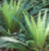 native-ferns-by-a.matthews.jpg