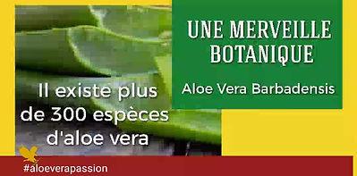 Les vertus de l'aloe vera : une merveille botanique - Aloe Vera Passion