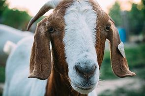 1 Female Goat