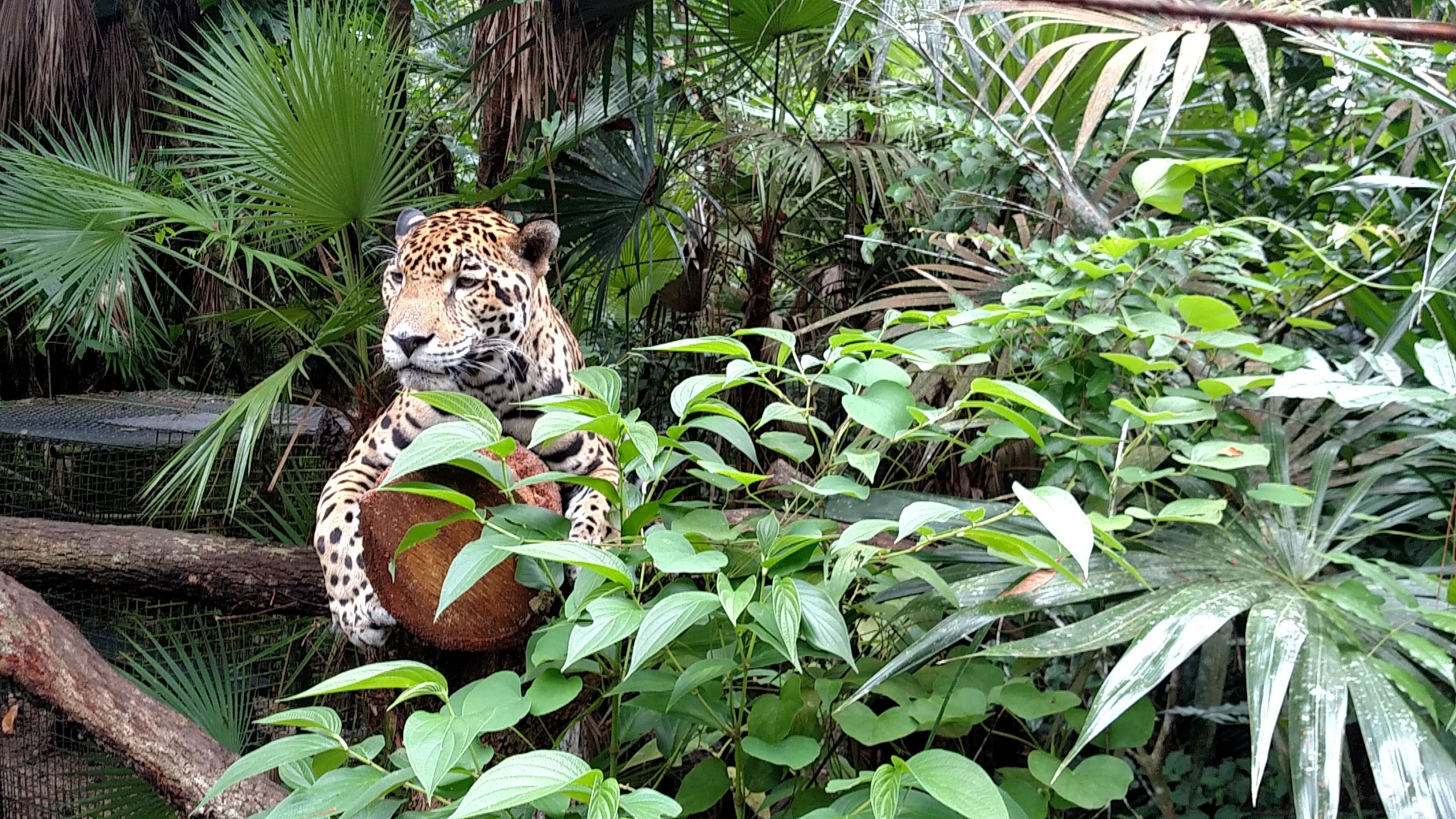 Belize Zoo Jaguar