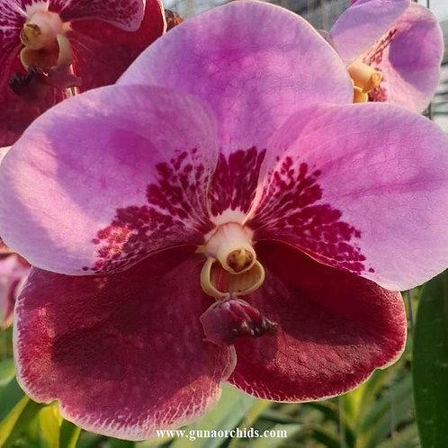 buy vanda udomsri x chindavat orchid online